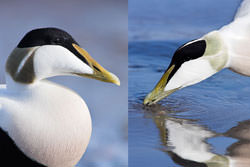 Tips On Photographing Ducks, Geese And Swans