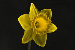 10 Top Tips On Shooting Daffodils