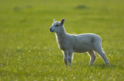 Lamb Photography