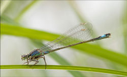 Tips On Photographing Damselflies