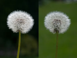How To Photograph Dandelions