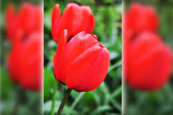 Tulip Photography Tips