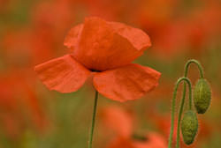 How To Photograph Poppies