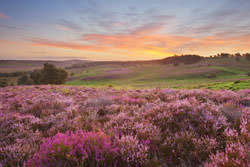 Preserving And Photographing Heathlands