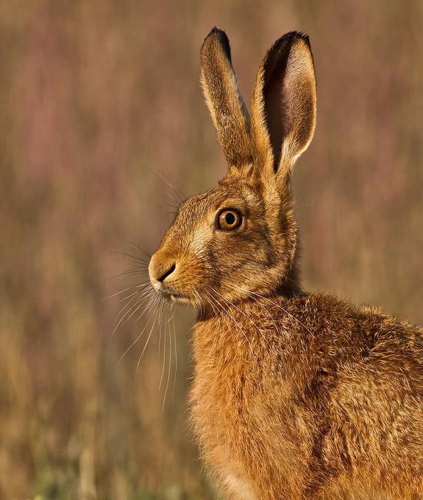 Jouvenile Hare