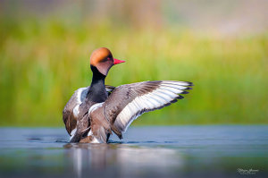 Fabulous Duck Capture Wins 'Photo Of The Week' Prize