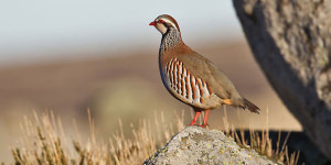 Finding And Photographing The Rock Partridge