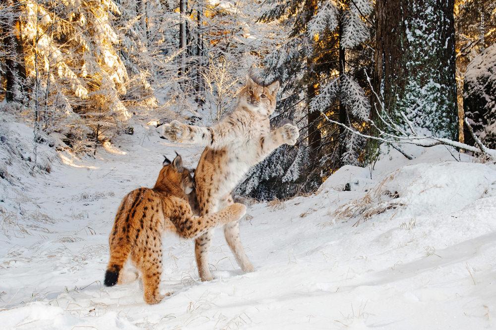 Kitten combat by Julius Kramer, Germany. Highly commended 2018, Behaviour: Mammals