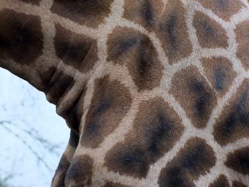 Abstract giraffe using the telephoto on the Fujifilm FinePix S200EXR