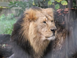 Portrait of lion taken with Fujifilm FinePix S200EXR