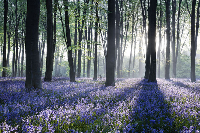 Trees with Bluebells