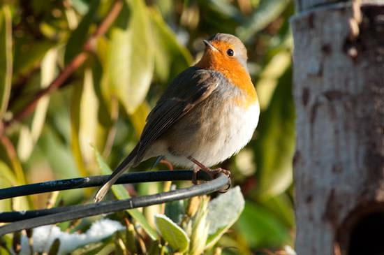 Robin in sunlight