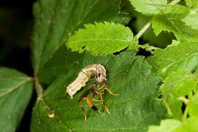 parasitic wasp 2