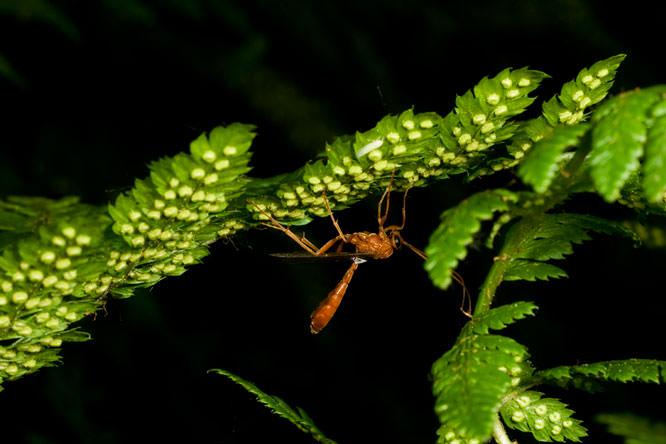 parasitic wasp 4