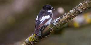 How To Spot The European Pied Flycatcher