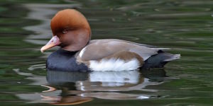 How To Spot The Red-Crested Pochard