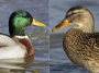 Thumbnail : How To Take Great Waterfowl Photos With Ease