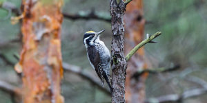 Identifying And Photographing The Three Toed Woodpecker