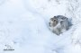 Thumbnail : Mountain Hare Image Awarded Photo Of The Week