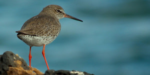 Learn About The Common Redshank