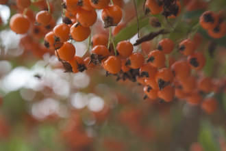 Lensbaby Spark Red Berries Bokeh | 1/60 sec | f/5.6 | 50.0 mm | ISO 320