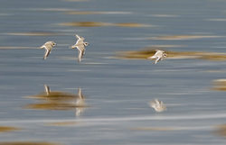 Plovers in flight