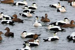 Eider flock