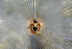 peacock fan worm