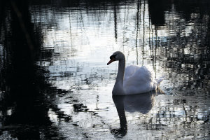 Master Swan Photography With These 4 Top Tips