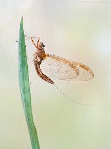 Mayfly Image Awarded POTW Accolade