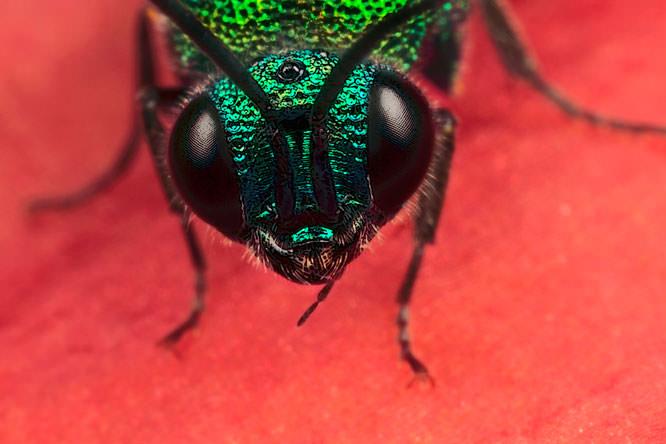 cookoo wasp