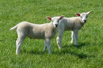Lambs | 1/400 sec | f/5.6 | 82.0 mm | ISO 100