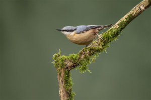 Nuthatch Image Awarded Photo Of The Week Accolade