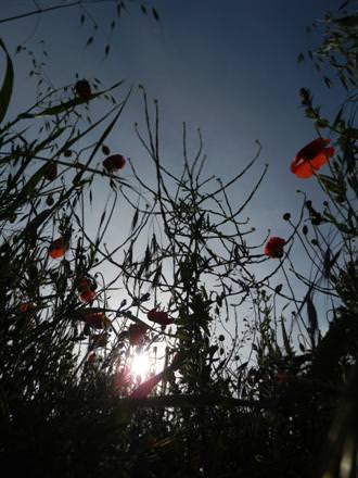 Into Sun Poppy