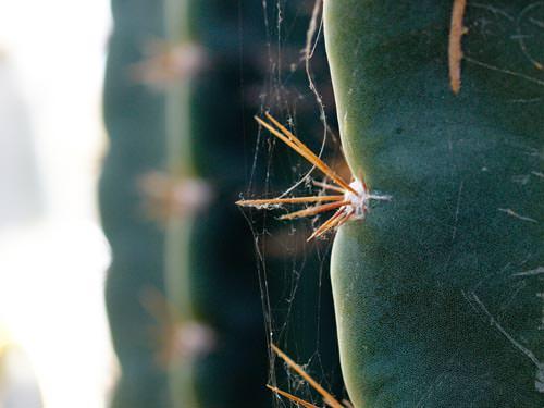 Olympus Zuiko Digital 35mm f/3.5 Macro cactus