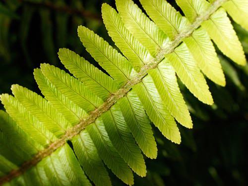 Olympus Zuiko Digital 35mm f/3.5 Macro fern leaf