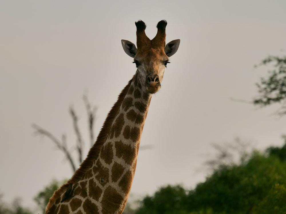 Giraffe captured with 200mm 1.4x Tele