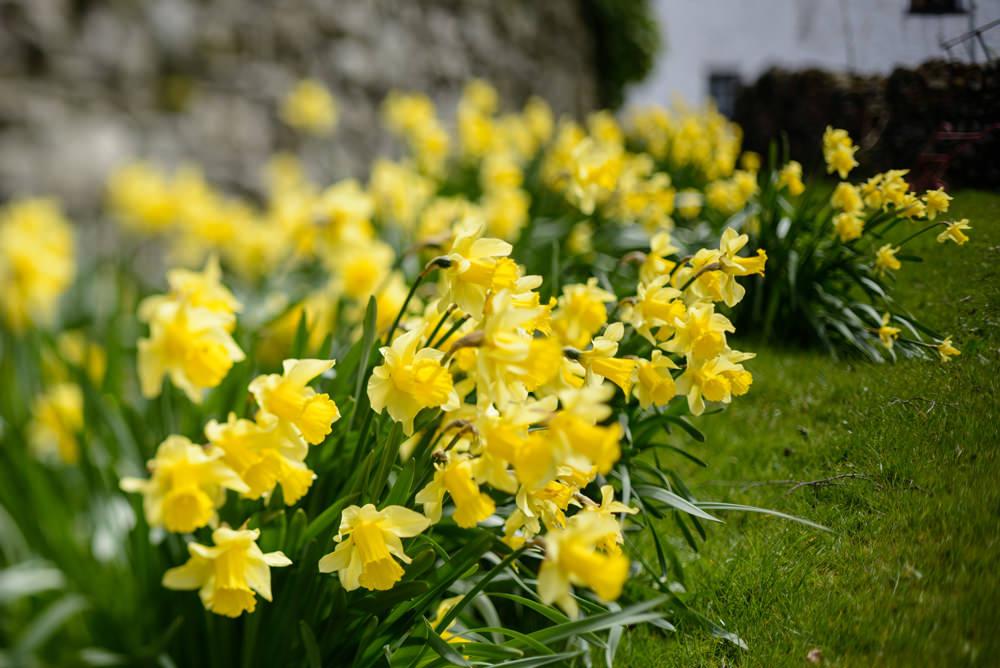 LPH daffodils