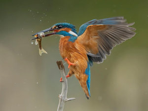 Perfectly Timed Common Kingfisher Photo Wins 'Photo Of The Week'