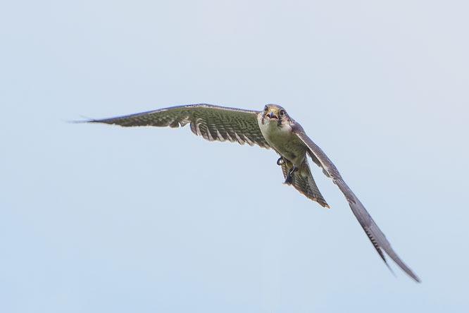 Brian Wadie lanner falcoln