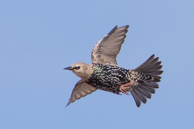 Brian Wadie starling