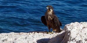 Photographing Eleonora's Falcon