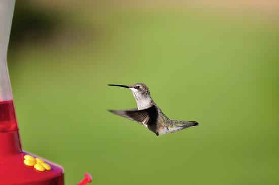 Hummingbird on a green background