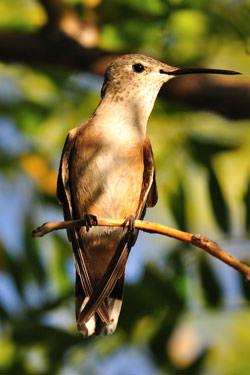 Hummingbird sat on a branch