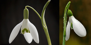 Photographing Snowdrops