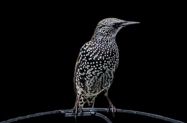 starling 2