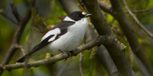 Photographing The Collared Flycatcher