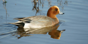 Photographing The Eurasian Wigeon