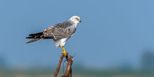 Photographing The Pallid Harrier