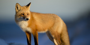 Photographing The Red Fox
